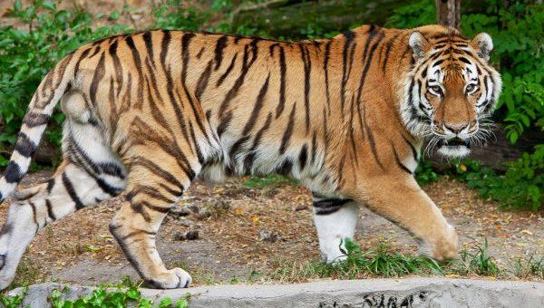 夢占いで未来を予測!『虎の夢』絶対に気をつける7つの事