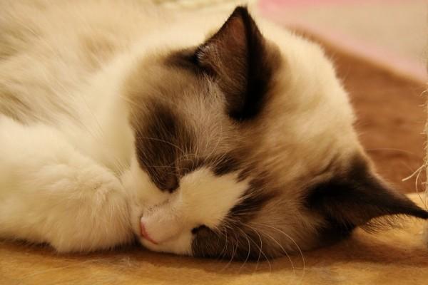 猫の夢があなたの元へ招き入れる、7つの幸福と不幸