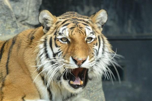 夢占い『虎の夢』☆人生の転換期を知らせる7つのサイン