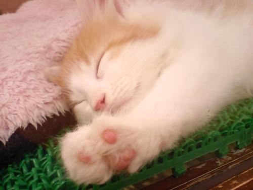 7-1寝顔猫