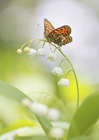 スズランにとまる蝶の画像