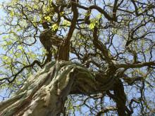 トネリコの木全
