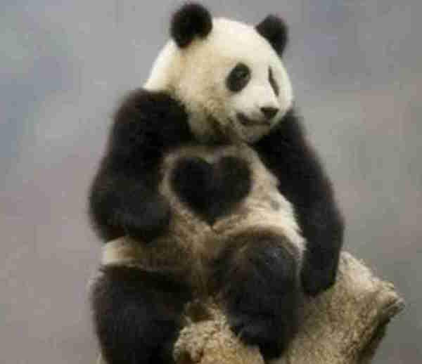 パンダのおまじない画像は恋愛オールマイティに効果アリ!