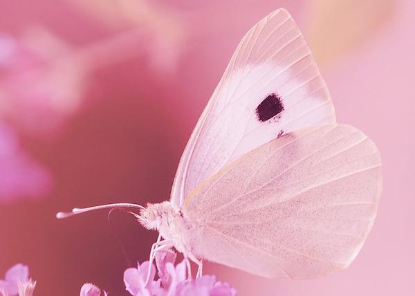 【復縁】願いが叶う待ち受け:お花にとまるピンクの蝶